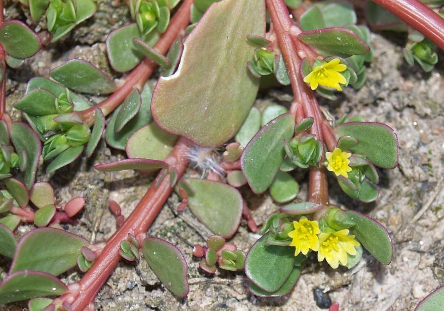 I fiori della portulaca oleracea cieliparalleli for Portulaca commestibile